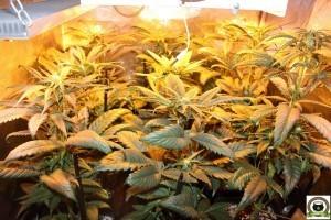 Peyo-XIII Stars El despertar de la Huerta IV Cuarta semana de floración del cultivo de marihuana 2