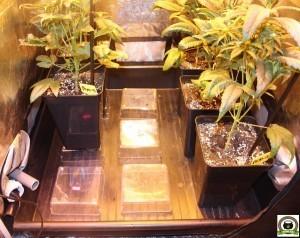 Peyo-XIII Stars El despertar de la Huerta IV Cuarta semana de floración del cultivo de marihuana 1