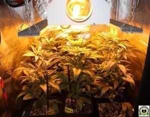 Peyo-XIII Stars El despertar de la Huerta IV Cuarta semana de floración del cultivo de marihuana 3