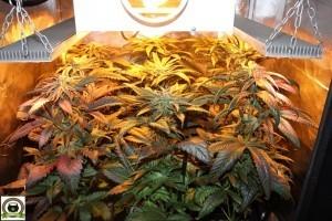 Peyo-XIII Stars El despertar de la Huerta V Día 28 de floración del cultivo de marihuana 1