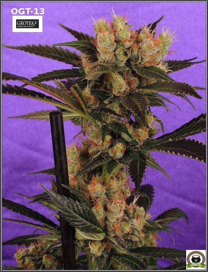Cómo aplicar Bacillus thuringiensis (BT) en el plantas de marihuana 1