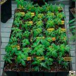 Mosca del mantillo en cultivos de marihuana – Detección y tratamiento