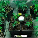 Enraizador para esquejes de plantas de marihuana Iclone – Análisis