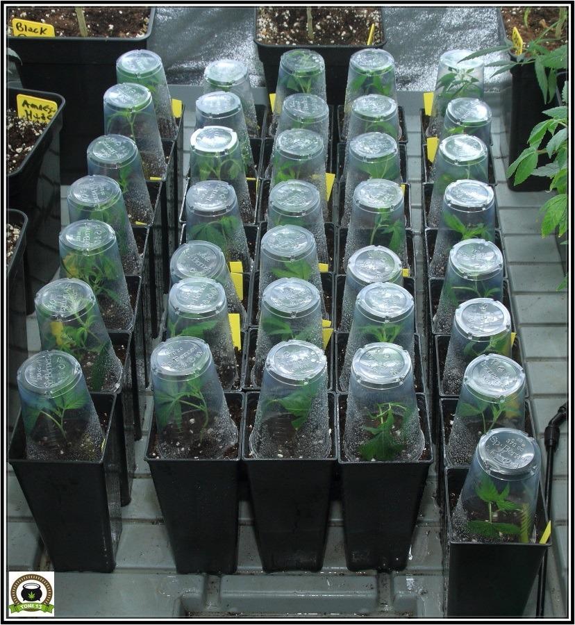enraizante de plantas de marihuana iclone-4
