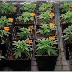 ACOLCHADOS para cultivos de marihuana, importancia y ventajas
