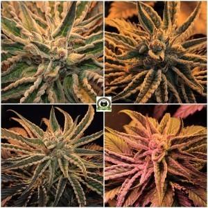 Diferentes plantas de marihuana con tricomas preparadas para cortar
