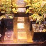 Peyo-XIII Stars El despertar de la Huerta IV Cuarta semana de floración del cultivo