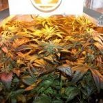 Peyo-XIII Stars El despertar de la Huerta V Día 28 de floración del cultivo
