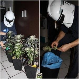 tropas Star Wars cosechando plantas de marihuana