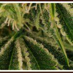 25- floración días cultivo de marihuana maestro 32 a 36