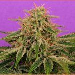 26- Floración del cultivo de marihuana maestro días 37 a 40