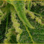 27- Floración del cultivo de marihuana maestro días 41 a 43