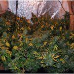 5- Cheeselandia, final de cultivo de marihuana