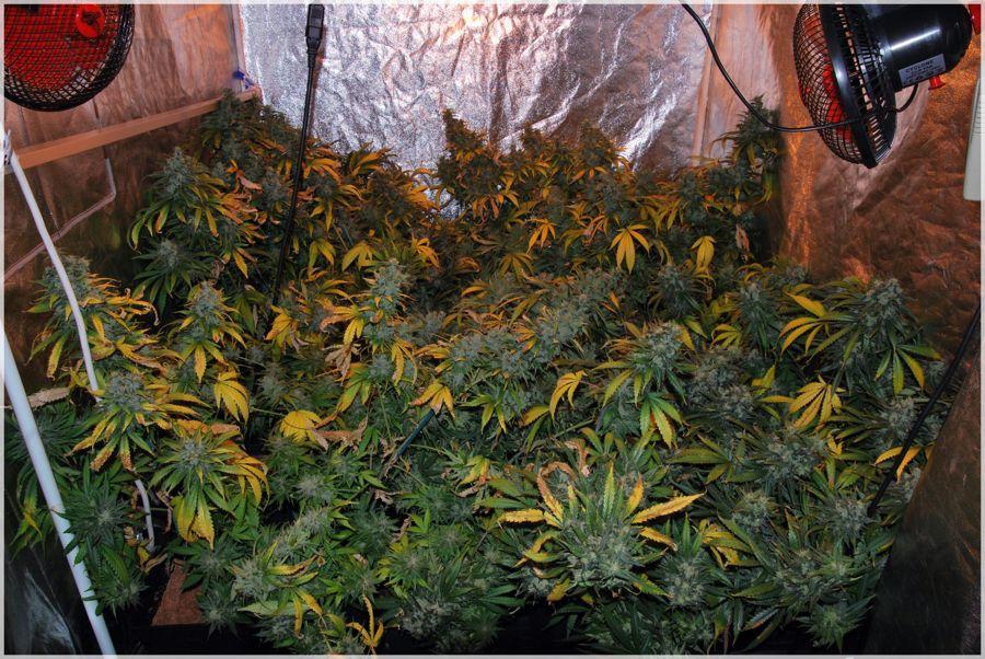 cultivo-seguimiento-marihuana-rubio-mundo-cheese-1