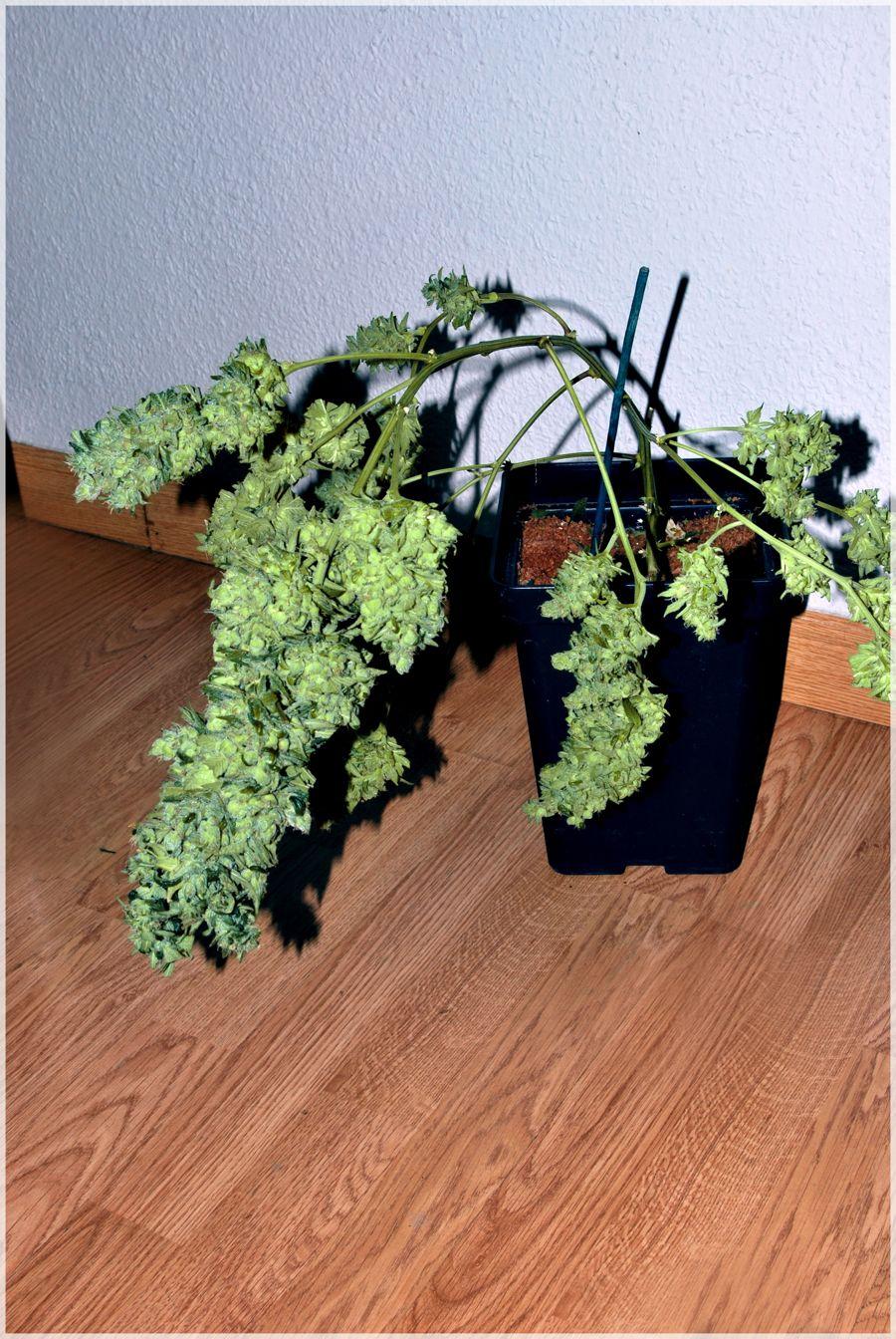 cultivo-seguimiento-marihuana-rubio-mundo-cheese-2