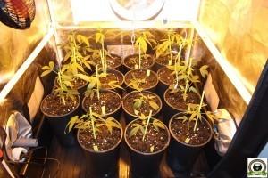 armario de cultivo de marihuana reducido 1