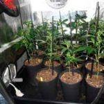 El Armariote de los Hermanos Hash-2 Comienza la floración del cultivo