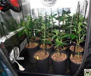 El Armariote de los Hermanos Hash-2 Comienza la floración del cultivo 1