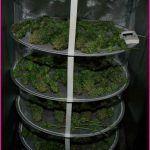 32- Secado del cultivo de marihuana maestro y otras cosillas