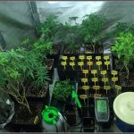 1- Presentación:  Los cruces del 13, variedades de marihuana femicopia