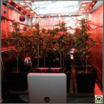 Deshumidificador en cultivos de marihuana, cuándo utilizarlos