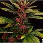 Terpeno – Definición, propiedades y función en plantas de marihuana