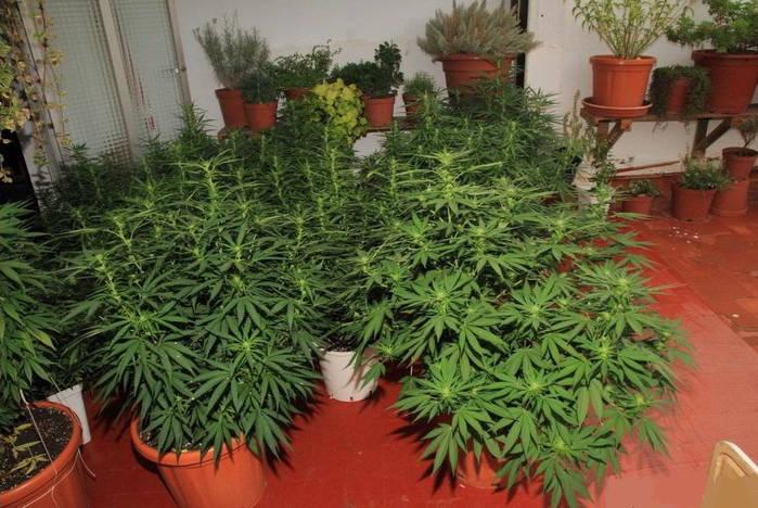 Cultivo marihuana (tipos)-2
