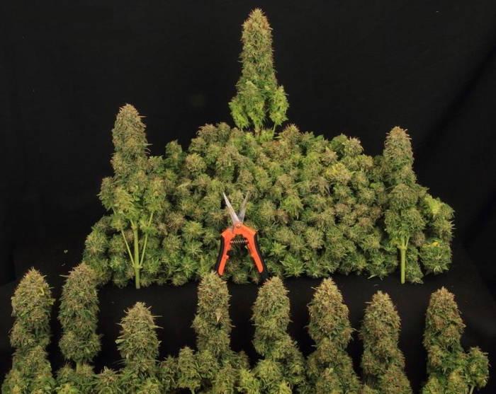 como-cosechar-cannabis