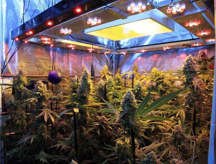 como-plantar-cannabis-paso-paso-potencia-luminica