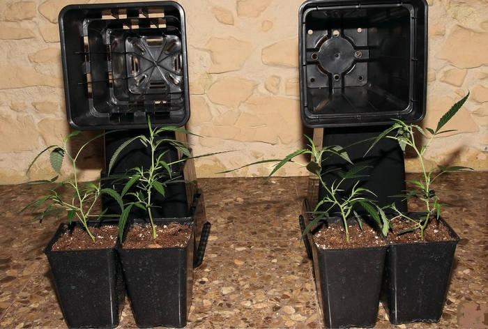 cómo plantar marihuana contenedores