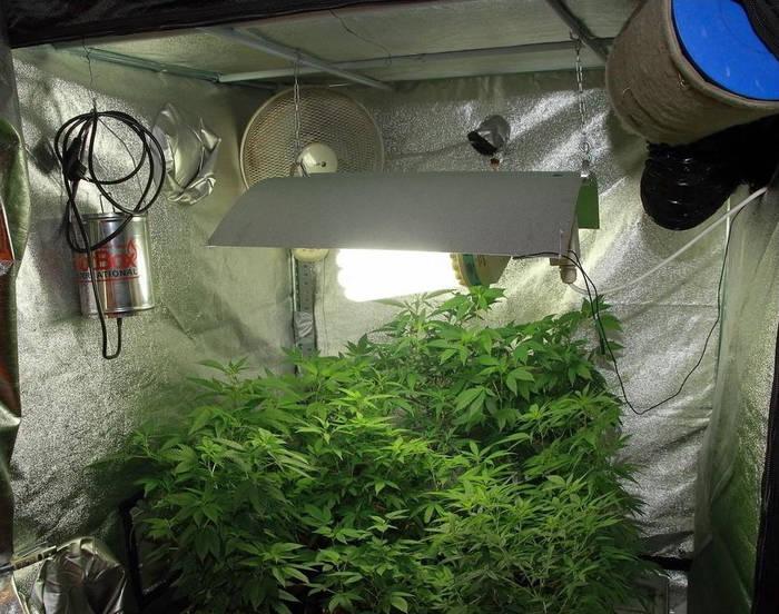 como-plantar-marihuana-plagas-hongos
