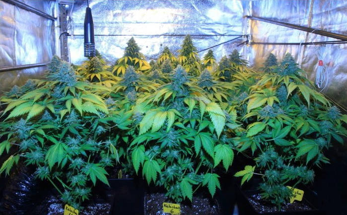 como-platar-marihuana-variedad