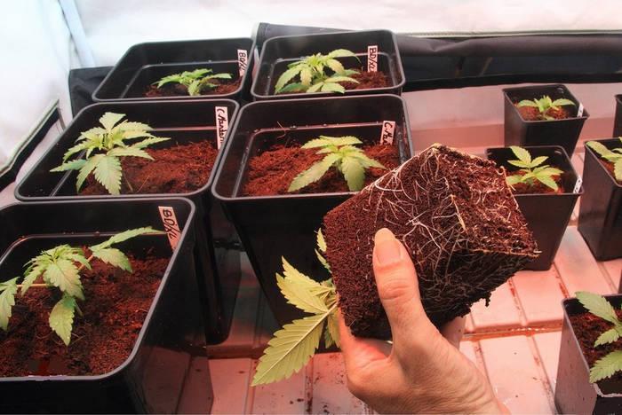como-trasplantar-cannabis