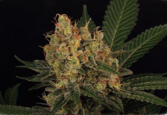 cultivo-seguimiento-marihuana-4-4-parte-1