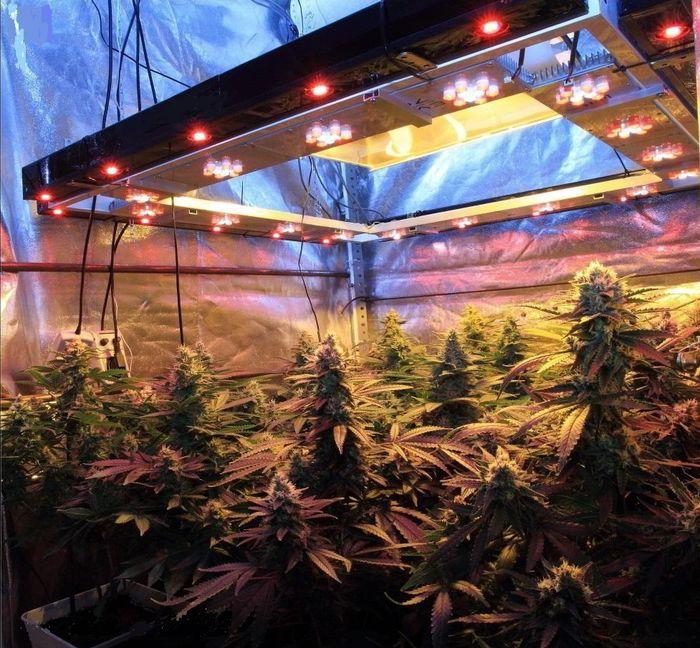 Cultivo de marihuana Sodio+LED