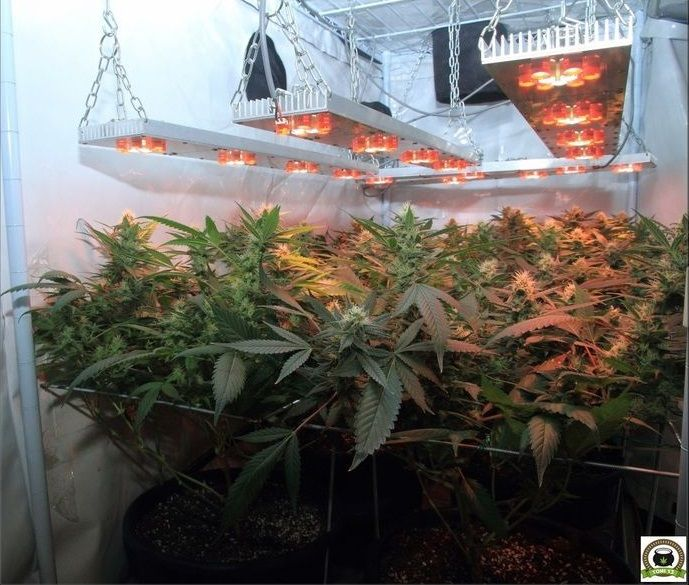cultivo-seguimiento-scrog-led