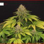 30- Días 51 a 56  Las tijeras para manicurar la marihuana están afiladas