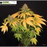 31- Floración días 57 y 58 llegó la cosecha del cultivo de marihuana