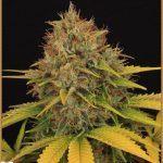 33- Nota de cata de marihuana y despedida del cultivo maestro