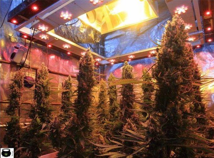 seguimiento-marihuana-sog-perfecto