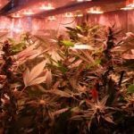 El Armariote de los Hermanos Hash5 Final de la floración del cultivo de marihuana