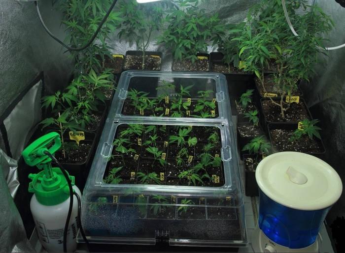 pulverizar-plantas-marihuana