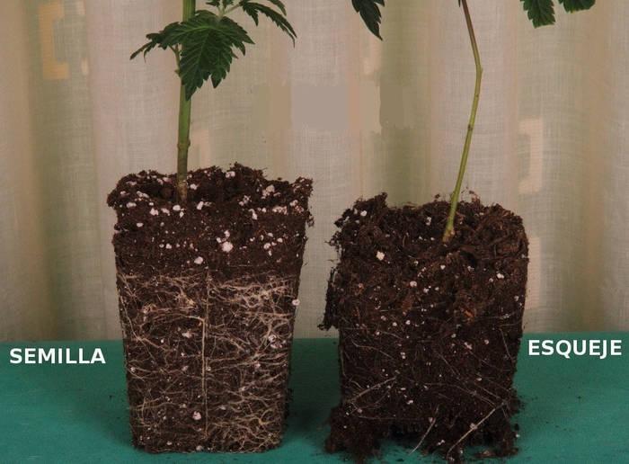 semilla-o-esqueje-marihuana