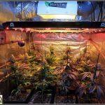 11- Lavado de raíces y luz residual en el cultivo de marihuana femicopia
