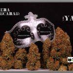 """""""Cultivo colectivo"""" de marihuana – cuando una idea se va de las manos"""