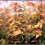 El Armariote de los Hermanos Hash6 Lavado y Cosecha del cultivo de marihuana