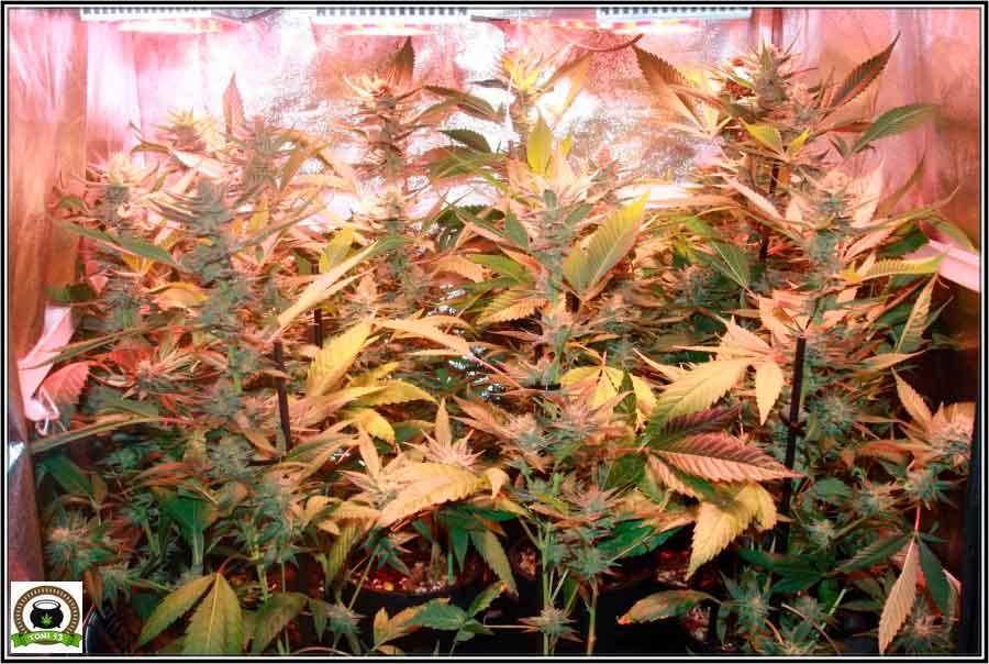 Cultivo de marihuana en armario muy reducido 1