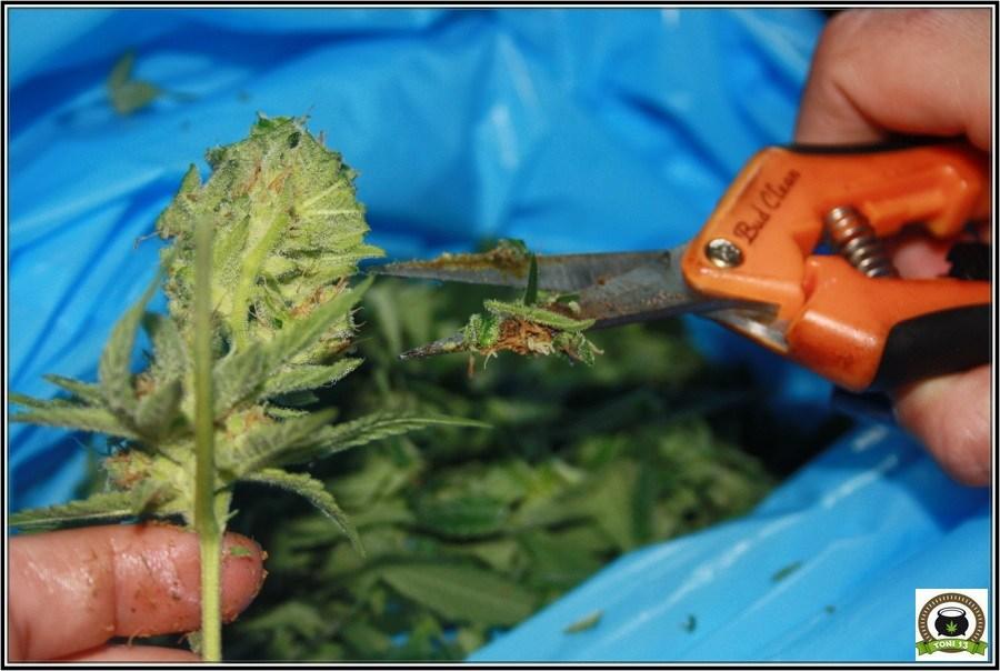 Cultivo de marihuana en armario muy reducido 3