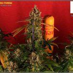 Botrytis – Cómo prevenirla en cultivos de marihuana, actuación y consejos
