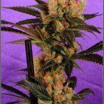 Microácaro en los cultivos de marihuana – Plagas y cómo combatirlas